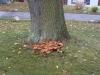 Pilze in unmittelbarer Nähe können ein Hinweis auf einen kranken Baum sein, wir raten zur Untersuchung, Gefahr evtl. Notfällung